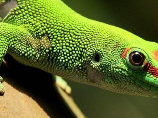 У чому схожість і відмінність тритона і ящірки: порівняння, фото