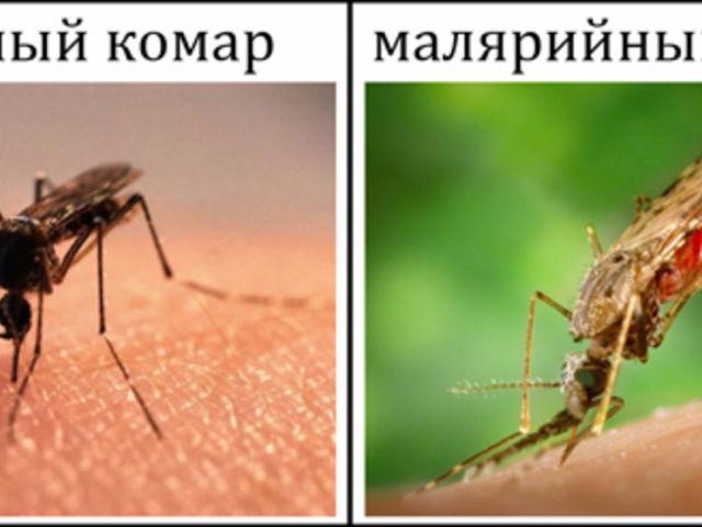 Відмінності та подібності між звичайними і малярійними комарами: порівняння