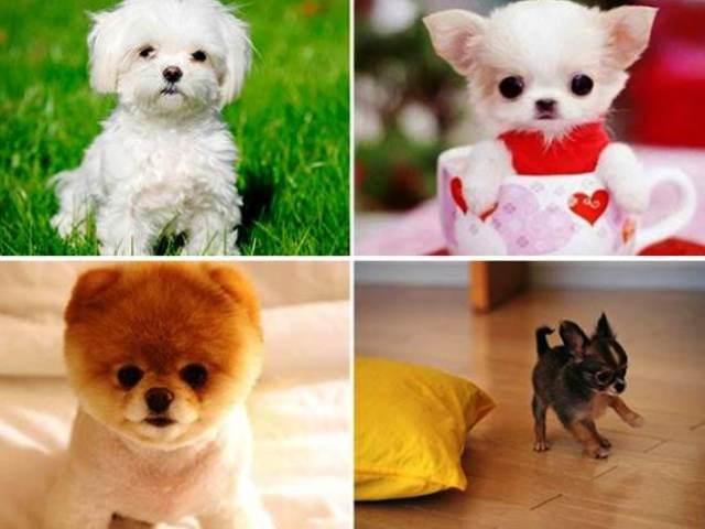Найменша у світі собака: порода, ціна. ТОП 20 порід самих маленьких собак у світі