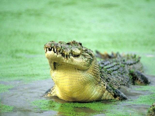 Найбільший крокодил алігатор в світі: розмір в метрах, вага, назва, місце проживання