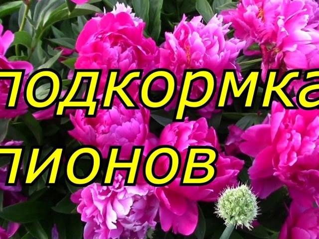 Чим підживити півонії після зими ранньою навесні, до цвітіння в період бутонізації, після цвітіння в липні, серпні для більш пишного цвітіння? Добрива і народні засоби для підживлення півоній навесні, влітку і восени: список і застосування