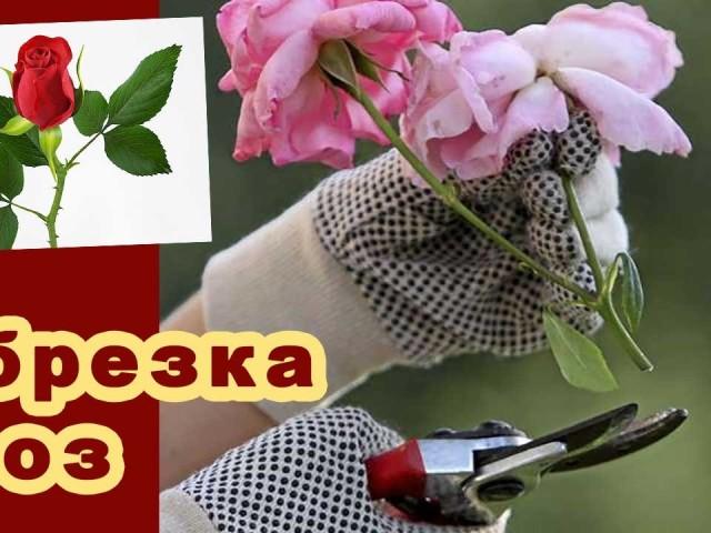 Обрізка троянд восени, влітку, навесні: терміни, схема, відео, поради для початківців садівників. Які троянди обрізають восени, влітку, навесні: сорти. Як правильно підстригти троянди осені на зиму, на яку висоту обрізати перед укриттям?