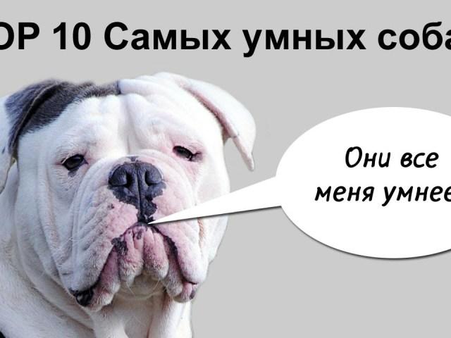 Топ-10 найбільш розумних і відданих собак у світі з маленьких, середніх і великих порід і порід для утримання в квартирі: породи з фотографіями і назвами. Яка порода собак сама розумна і віддана: рейтинг