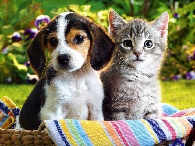 Хто розумніший: кішки або собаки і чому? Порівняння інтелекту собаки і кішки: подібності та відмінності. Кішка і собака – хто краще: заслуги перед людством. Кого краще завести в квартирі — кішку або собаку: тест