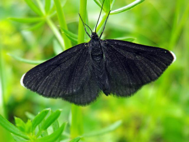 Метелик залетів у вікно, кімнату, квартиру, будинок, офіс, машину: прикмета. Що означає, якщо в хату залетів метелик шоколадниця, темна, чорна, сіра, нічне? Прикмета: метелик сів на вікно, стукає, ломиться у вікно