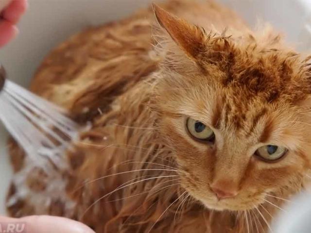 Як і чим можна помити кішку, кота? Особливості купання кота. Огляд шампунів для миття, купання котів і кішок