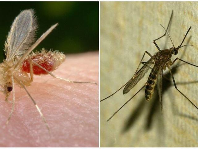 Москіт і комар: відмінності — як відрізнити москіта від комара за зовнішнім виглядом, середовища, особливостей розмноження?