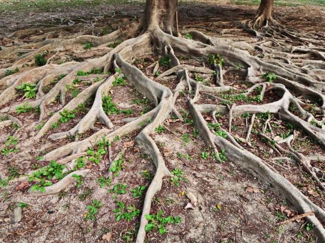Як відрізнити кореневище від кореня: коротке порівняння, ознаки