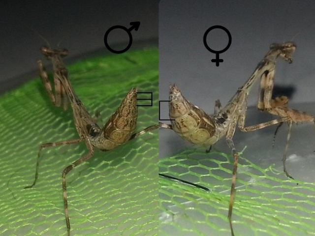Як визначити стать богомола: зовнішні ознаки — як відрізнити самку богомола від самця?