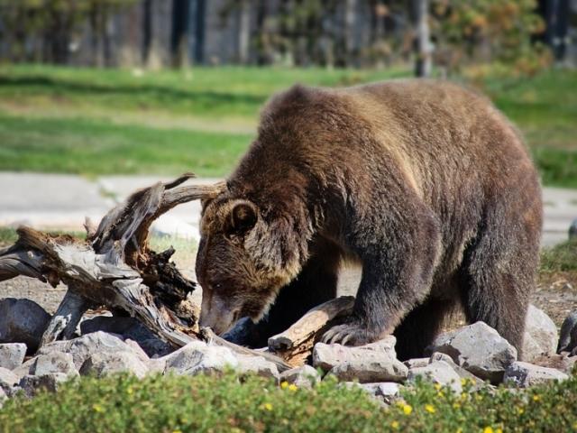 Де живе, живе, чим харчується бурий ведмідь: материк. Ведмідь – опис, характеристика, будова. Види бурих ведмедів, назви й фото