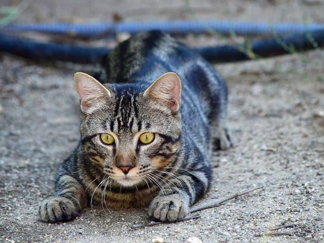 Що буде, якщо кішці або кота відрізати вуса: наслідки. Виростуть у кішки обрізані вуса?