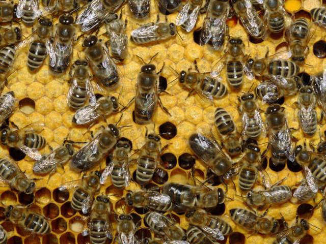 Як позбутися від диких бджіл на дачній ділянці, в стіні і під підлогою будинку? Чим вивести бджіл з дому?