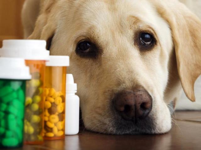 Рахіт у собак та цуценят: симптоми, ознаки, причини, лікування, ускладнення, профілактика. Лікується рахіт у собак?