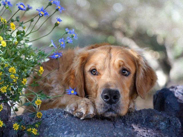 Собаку вкусив кліщ — пироплазмоз (бабезіоз): перші ознаки, наслідки. Пироплазмоз у собак: симптоми, лікування, профілактика