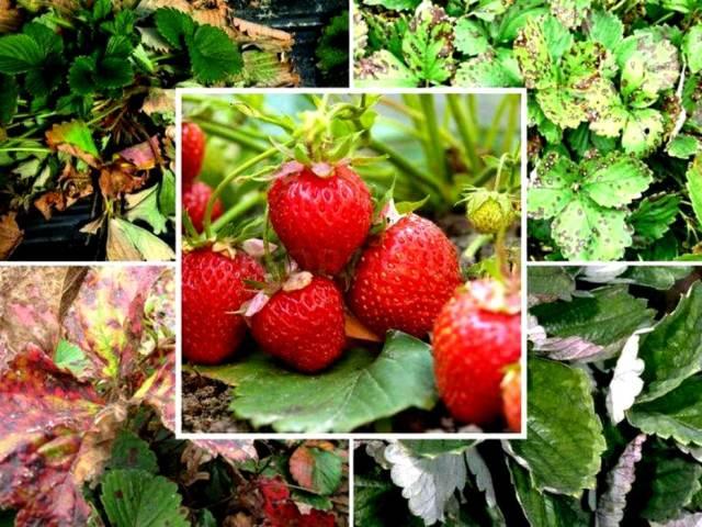 Хвороби полуниці і садової суниці, опис захворювань, як відображаються хвороби полуниці на листках, ягодах, лікування хімічними препаратами і народними засобами