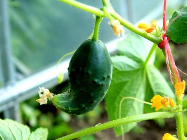 Чому огірки ростуть погано, повільно або зовсім не ростуть в теплиці, парнику, на грядці у відкритому грунті: причини, що робити, чим підживити, полити? Що робити з огірками, якщо на них дуже багато зав'язей, але плоди огірків ростуть погано?