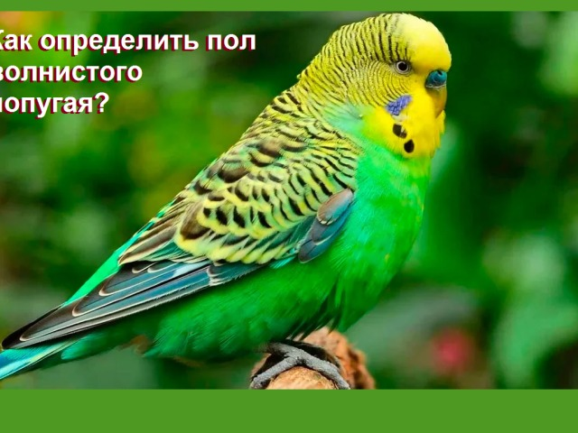 Як відрізнити хвилястого папугу хлопчика від дівчинки: зовнішня відмінність, ознаки поведінки самці, самки, восковиця, фото