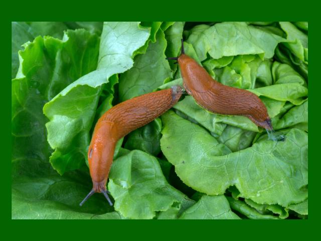 Як виростити капусту без гусениць і слимаків? Як позбутися від гусениць і слимаків на капусті народними засобами, хімічними препаратами і біологічним способом: рекомендації, препарати, рецепти, інструкції