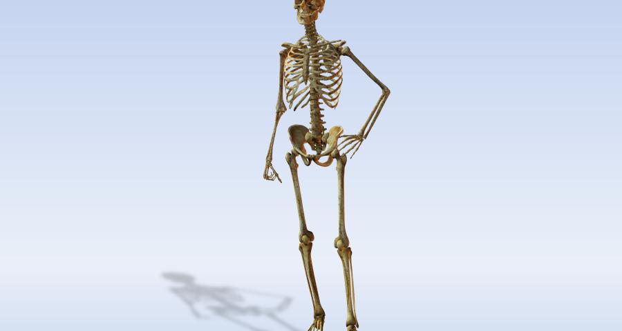 Все про скелеті людини. Скелет людини: будова з назвою кісток, функції, анатомія, фото спереду, збоку, ззаду, частини, кількість, склад, вага кісток, схема, опис. Скелет тулуба, верхніх і нижніх кінцівок, голови людини з описом